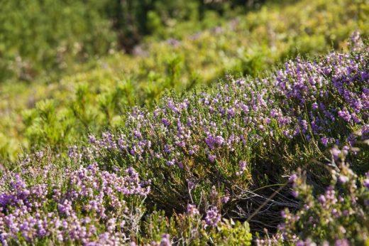 polish-high-tatras-mountains-heather-on-the-slopes-1013tm-pic-616.jpg